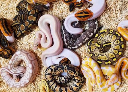 Picture for category Ball Pythons